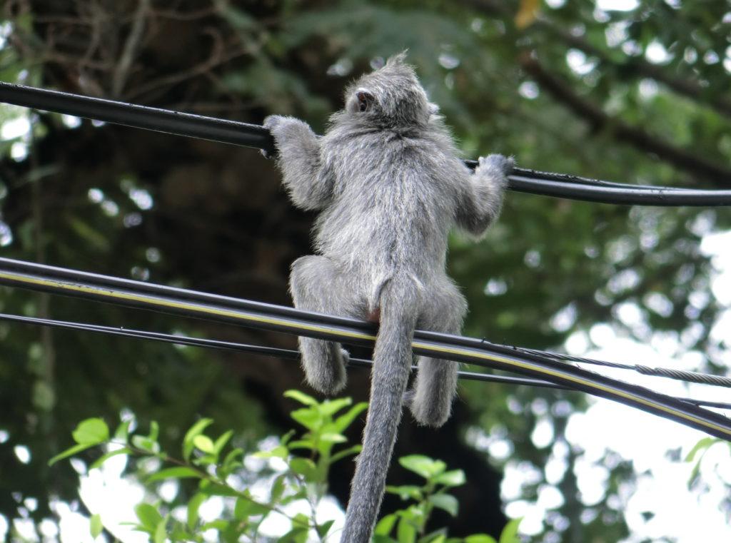 電線に腰を掛ける猿