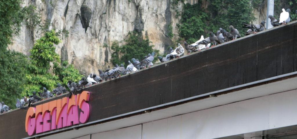 バトゥ洞窟の鳩