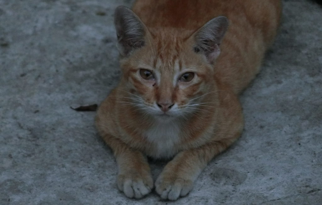 ワット パトゥムワナーラームにいた猫