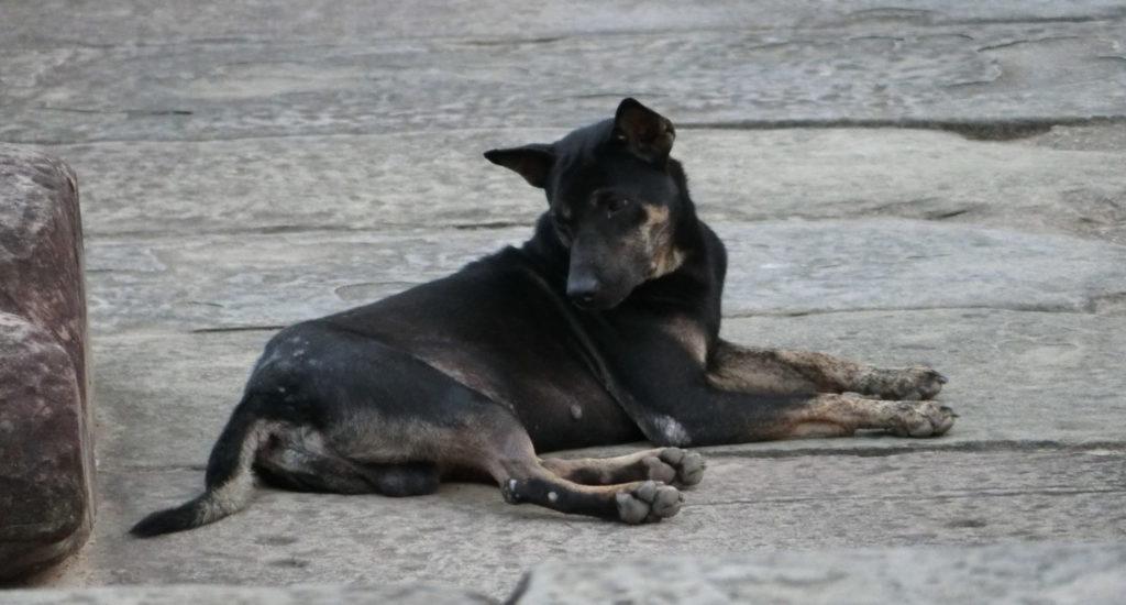 アンコールワットの野犬